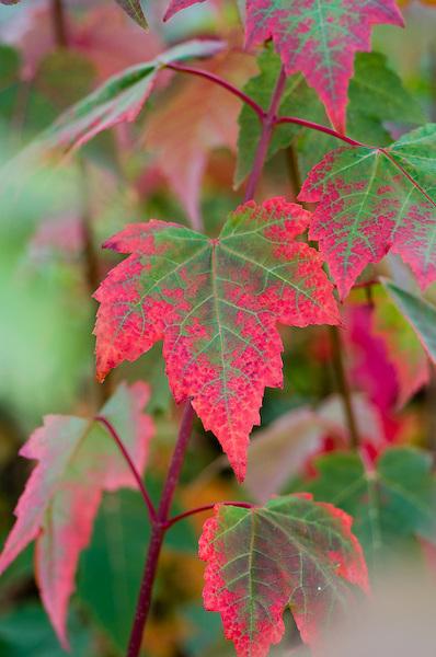 Acer Rubrum Northwood