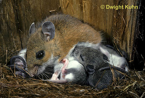MU28-054b  White-Footed Mouse - nursing young -  Peromyscus leucopus
