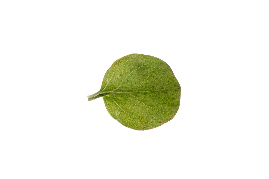 Pfennigkraut, Pfennig-Gilbweiderich, Lysimachia nummularia, Creeping Jenny, moneywort, herb twopence, twopenny grass, La lysimaque nummulaire, la herbe aux écus. Blatt, Blätter, leaf, leaves