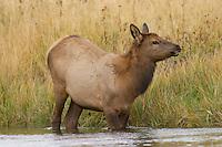 Elk, Wapiti, Cervus elaphus, calf crossing river,  Yellowstone NP,Wyoming, September 2005