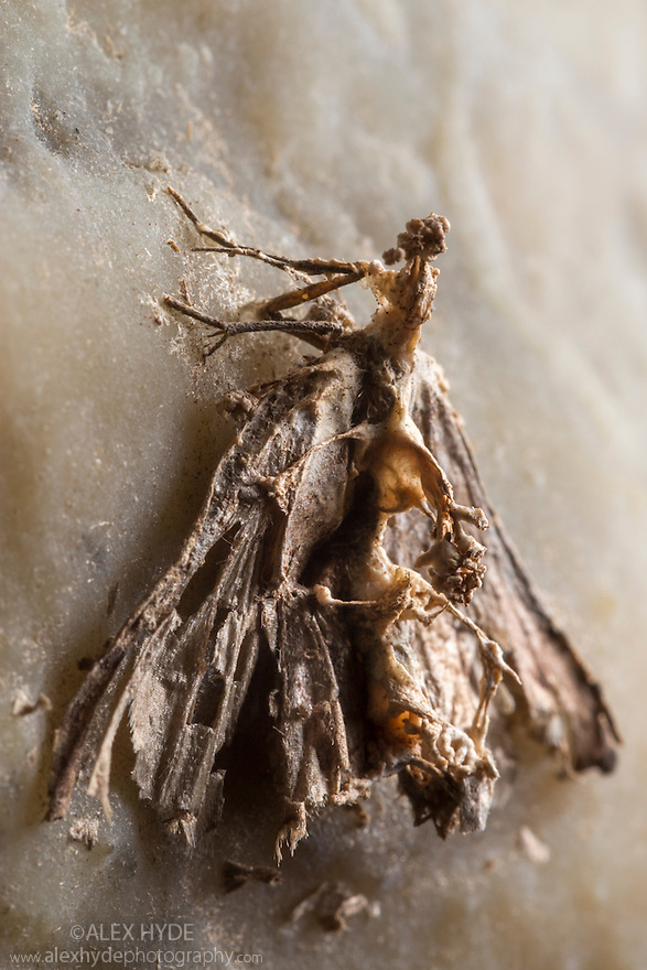 Tissue moth (Triphosa dubitata) killed by entomopathogenic fungus in karstic cave. Slovenia, April.
