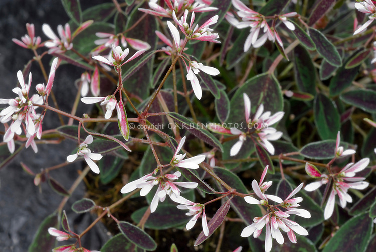 Euphorbia Breathless Blush, Pink flowers with dark brown and green foliage