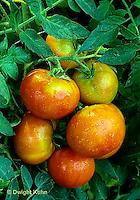 HS09-240x  Tomato - celebrity variety