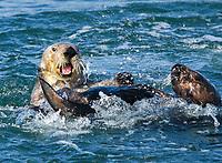 southern sea otter, or California sea otter, Enhydra lutris nereis, wrestling, endangered species, Elkhorn Slough, Moss Landing, Monterey, California, USA, Monterey Bay, Pacific Ocean