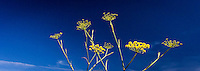 Yellow flowers of sweet fennel against a mostly deep blue sky with hints of wispy clouds.