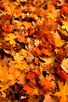 Brilliant red, orange, yellow and brown autumn leaves cover the ground in Charlotte, NC. A summer with frequent rains, followed by fall with hot afternoons and cool nights gave leaf peepers a pallet of colorful fall foliage to enjoy in 2009.