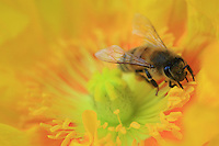 A bees get tform a poppy flower in a family garden. Poppy does not contain any nectar but bees like the flower for its abundant pollen.
