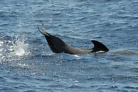 Short-finned Pilot Whale, Globicephala macrorhynchus, lobtailing, south of Pico Island, Azores, Atlantic Ocean