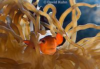 0321-1131  False Percula Clownfish (Ocellaris Clownfish), Amphiprion ocellaris, with Bulb-tipped Anemone, Entacmaea quadricolor  © David Kuhn/Dwight Kuhn Photography