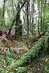 Cool Temperate Rainforest, Minnehaha Track, Fox Glacier, New Zealand