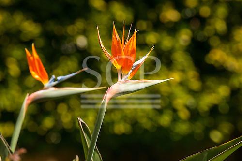 Huntington gardens, Pasadena, California, USA. Strelitzia reginae - Bird of Paradise flower, Crane flower. Member of the Heliconia group - Strelitziaceae. Two cultivated blooms.