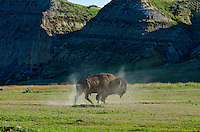 American bison (Bison bison) bull shaking off dust after wallowing during summer mating season.
