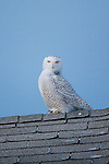 A snowy owl perched on the roof of a house in western Montana