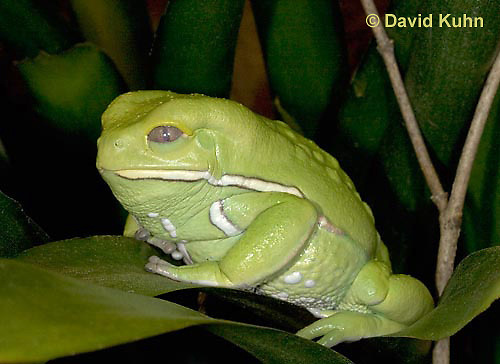"""1217-07mm  Waxy Monkey Leaf Frog - Phyllomedusa sauvagii """"Central and South America"""" - © David Kuhn/Dwight Kuhn Photography."""