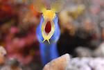 Blue Ribbon Eel Abstract , Rhinomuraena quaesita, Underwater macro marine life images;  Photographed in Tulamben; Liberty Resort; Indonesia.Underwater Macro Photographer on FB 2nd Annual event