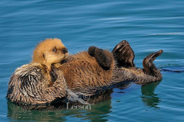 Alaskan or Northern Sea Otter (Enhydra lutris) mom carrying young pup.  Alaska.