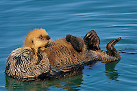 Alaskan or Northern Sea Otter (Enhydra lutris) mom carrying young pup.  Alaska.