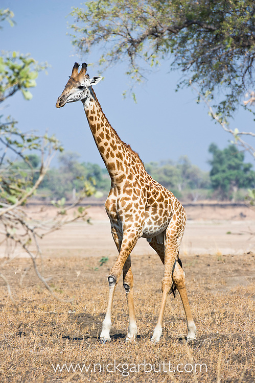 Thornicroft's Giraffe (Giraffa camelopardalis thornicrofti) walking along on the banks of the Luangwa River. South Luangwa National Park, Zambia.