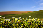 In spring, Cow Parsnip often line the roadsides near Steptoe Butte in Washington State's Palouse Hills.  Steptoe Butte stands tall above the Palouse in Washington State.  Steptoe Butte is a quartzite island jutting up from sediment left by the ice age Missoula flood that formed the Palouse.