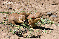 0601-1027  Group of Black-tailed Prairie Dogs Eating Prairie Grass, Cynomys ludovicianus  © David Kuhn/Dwight Kuhn Photography