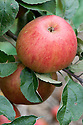 Apple 'Old Pearmain', mid September. An English dessert apple named by Mr Kelsey of Surey in 1924. It is unproven whether or not this apple is actually descended from the ancient 'Pearmain' recorded in France and the UK in about 1200.