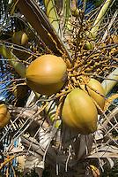 Cuba, Kokosnuss-Palme  in  Ancon bei Trinidad,  Provinz Sancti Spiritus