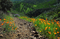 Poppies, with lupine in the distance. Mount Diablo State Park