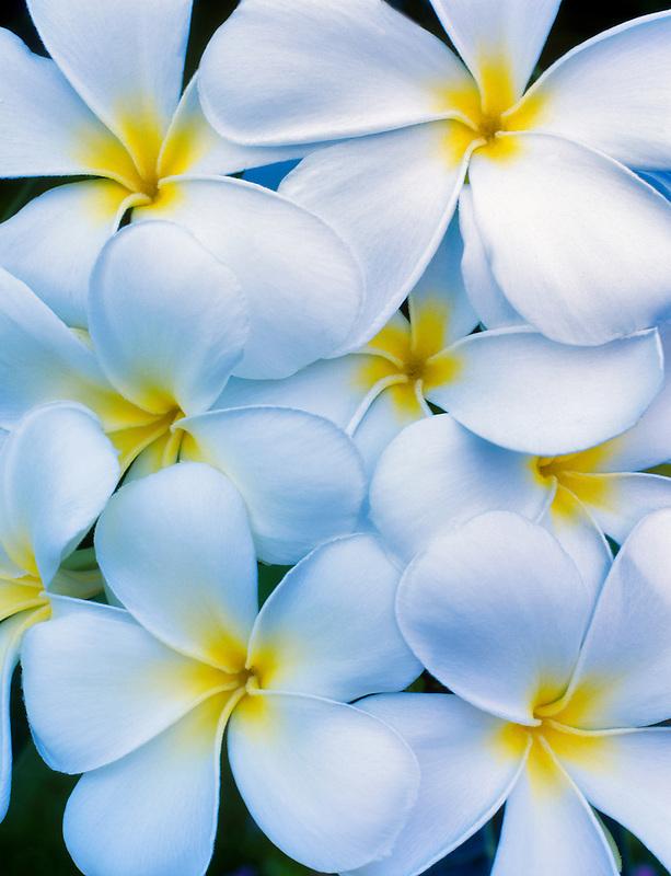 White Plumeria (plumeria rubra, p. obtusa). Maui, Hawaii.