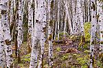 Black-tailed deer, Olympic National Park, Washington