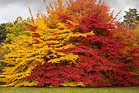 Gelbes und rotes Laub einer Persischen Parrotie oder auch Eisenholz (lat. Parrotia persica) im Herbst.<br /> 24.10.2020, Berlin<br /> Copyright: Christian-Ditsch.de