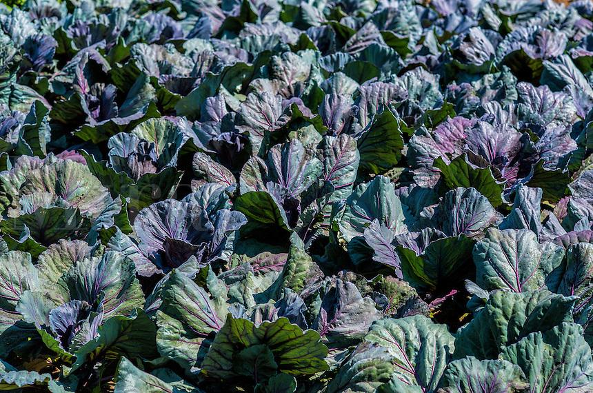 Crop of cabbage growing in an organic vegetable garden, Virginia, USA