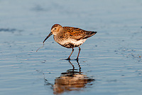 Dunlin (Calidris alpina) feeding along ocean beach, spring migration, Pacific Northwest Pacific Ocean coastline.  I believe this one is eating a marine worm it has pulled from the sand.