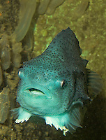 Seehase, See-Hase, Weibchen, Cyclopterus lumpus, Lumpsucker