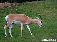 0213-08ww  Grant's gazelle, Gazella granti © David Kuhn/Dwight Kuhn Photography