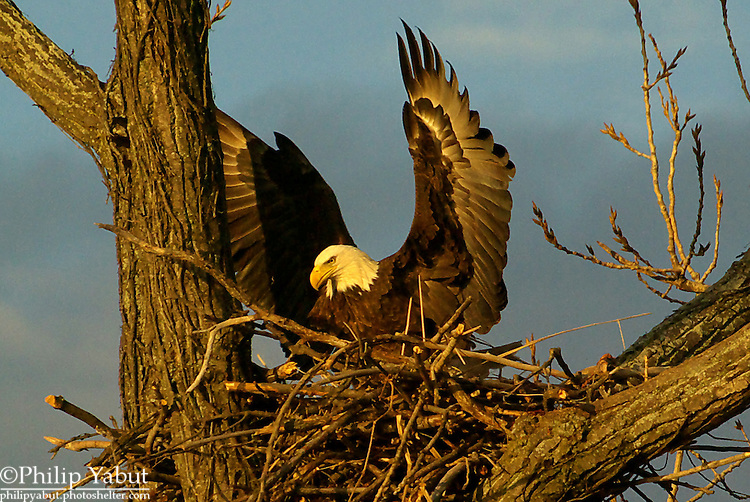 Early morning sunlight gives a bald eagle (Haliaeetus leucocephalus) a golden glow.<br /> <br /> Belle Haven Country Club<br /> Alexandria, Virginia