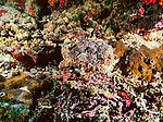 An Estuarine stonefish hunts with deception and stealth in New Britain, Papua New Guinea