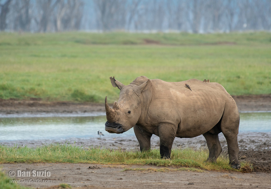 Southern White Rhinoceros, Ceratotherium simum simum, in Lake Nakuru National Park, Kenya. Three Red-billed Oxpeckers, Buphagus erythrorhynchus, are perched on its back.
