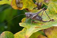Gewöhnliche Strauchschrecke, Gemeine Strauchschrecke, Strauchschrecke, Weibchen, Pholidoptera griseoaptera, dark bushcricket, dark bush-cricket, female, La decticelle cendrée, la pholidoptère grise