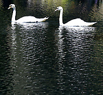 The Sunset Swans