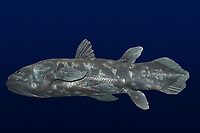 deep sea, coelacanth, Latimeria chalumnae, model, once thought to be extinct, is found in deep water caves around islands off the coasts of Africa