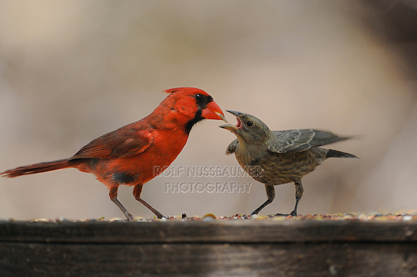 Northern Cardinal (Cardinalis cardinalis), male feeding young Brown-headed Cowbird {Molothrus ater), New Braunfels, San Antonio, Hill Country, Central Texas, USA