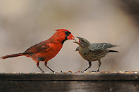 Northern Cardinal (Cardinalis cardinalis), male feeding young Brown-headed Cowbird {Molothrus ater), New Braunfels, San Antonio, Hill Country, Central Texas, USA