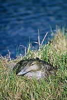 Eiderente, Eider-Ente, brütendes Weibchen, Somateria mollissima, common eider