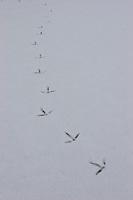 Kranich, Fußabdruck, Fuss-Abdruck auf schneebedeckter Eisfläche, Grus grus, Crane, Grue cendrée
