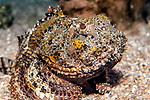 Gulf Toadfish facing camera full body view