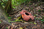 Rafflesia flower (Rafflesia keithii) (about 3 days) growing from Tetrastigma vine on rainforest floor. Lower slopes of Mt Kinabalu, Sabah, Borneo.