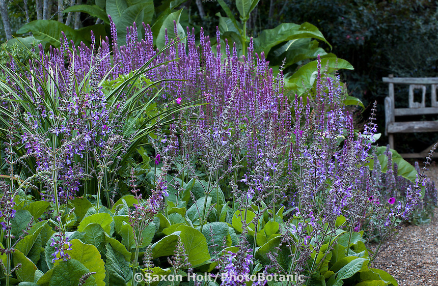 Blue flowering perennials in border with strong foliage plants; flowering sages - Salvia forsskaolei, S. nemerosa 'Amethyst', foliage of Knifophia 'Yellow Cheer' in border and Inula beyond; Gary Ratway garden