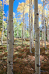 Autumn colors of the aspens along the north rim in Grand Canyon National Park