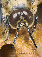 1B07-505z  Honeybee face, closeup of 5 eyes, 2 compound eyes, 3 simple eyes,  Drone Male,  Apis Mellifera, Race Carniolans