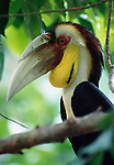 A bar-pouched wreathed hornbill, Malaysia